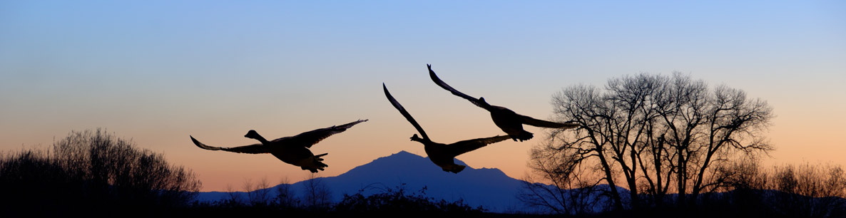 geese flying over the San Joaquin Delta at sunset