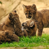 Mountain lion kittens