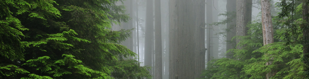 redwood forest at Prairie Creek State Park